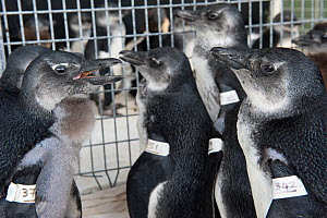Black footed penguins (Spheniscus demersus) tagged and in rehabilitation at Southern African Foundation for the Conservation of Coastal Birds (SANCCOB) Cape Town, South Africa - Cheryl-Samantha Owen