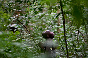A ranger looks for Chimpanzees in Semliki National Park's forest, Uganda, East Africa. No release available.  -  Cheryl-Samantha Owen