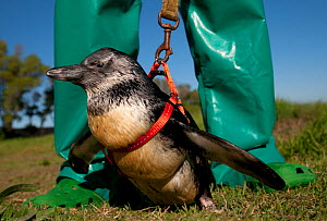 Black footed penguin (Spheniscus demersus) this penguin has a deformed back and cannot walk without assistance. Staff exercise 'Twinkles' with a harness and lead in rehabilitation at Southern African... - Cheryl-Samantha Owen