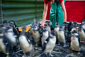 Black footed penguins (Spheniscus demersus) being encouraged to move from pen to swimming pool, part of rehabilitation at Southern African Foundation for the Conservation of Coastal Birds (SANCCOB) Ca... - Cheryl-Samantha Owen