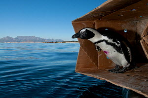 Black footed penguin (Spheniscus demersus) about to be released at sea near Robben Island in Table Bay, after rehabilitation at Southern African Foundation for the Conservation of Coastal Birds (SANCC...  -  Cheryl-Samantha Owen