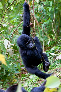 Mountain gorilla (Gorilla gorilla) juvenile swinging from branch, Bwindi Impenetrable Forest, Uganda, East Africa  -  Cheryl-Samantha Owen