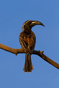 Male African Gray Hornbill (Tockus nasutus), portrait. Tanzania.  -  Charlie Summers