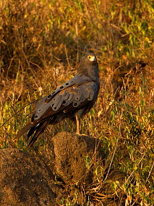 African harrier-hawk (Polyboroides typus) perched on a rock. Ngorongoro Crater, Tanzania. - Charlie Summers