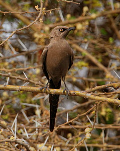 Ashy starling (Lamprotornis unicolor) perched in  thorn tree. Tarangire  NP, Tanzania. - Charlie Summers