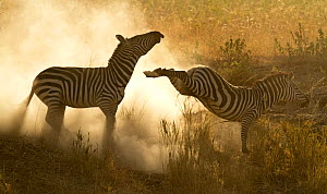 Plains Zebra (Equus quagga) in a dominance fight with dust flying, Lake Magadi, Serengeti, Tanzania.  -  Charlie Summers