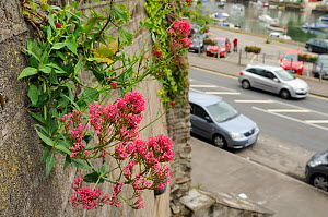 Flowering Red Valerian (Centranthus ruber) growing from drainage pipe in a retaining wall, with cars, buildings and Looe harbour in the background, Cornwall, UK, June 2012 - Nick Upton