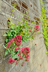 Flowering Red Valerian (Centranthus ruber) growing from drainage pipe in a retaining wall, Looe, Cornwall, UK, June - Nick Upton