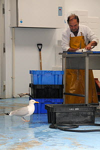 Adult Herring gull (Larus argentatus) looking for scraps in fish processing warehouse as fishmonger fillets fish, Looe, Cornwall, UK, June.  -  Nick Upton