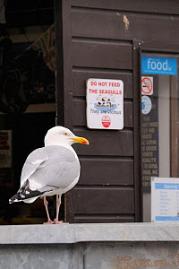 Adult Herring gull (Larus argentatus) standing near entrance to fishmonger's shop near a 'Do not feed the Seagulls - They are Vicious' sign, Looe, Cornwall, UK, June  -  Nick Upton