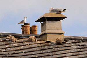 Three Herring gull chicks (Larus argentatus) sleeping on roof with their parents resting and standing on nearby chimneys, Looe, Cornwall, UK, June  -  Nick Upton