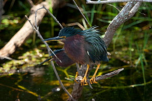 Green Heron (Butorides virescens) crouching on branch waiting for prey, Everglades National Park, South Florida, USA, May  -  Barry Mansell