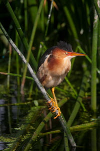 Least Bittern (Ixobrychus exilis), adult perched on reeds, Everglades NP, South Florida, USA, May  -  Barry Mansell