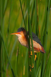 Least Bittern (Ixobrychus exilis) perched on reeds, Everglades National Park, South Florida, USA, May  -  Barry Mansell