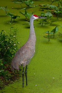 Sandhill Crane (Grus canadensis) standing in algae covered water, South Florida, USA, May  -  Barry Mansell