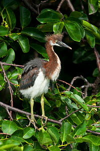 Tricolor Heron (Egretta tricolor) juvenile perched,  Everglades National Park, South Florida, USA, May  -  Barry Mansell