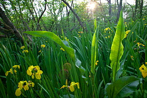 Yellow flag iris (Iris peudacorus ) and Greater water dock ( Rumex hydropathum ) in overgrown Alder wetland, Oxwich National Nature reserve, Gower, Wales, UK, June  -  David Woodfall