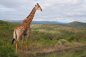 Giraffe (Giraffa camelopardalis) in veldt. Umfolozi Hluhluwe National Park, South Africa, October.  -  Kerstin Hinze
