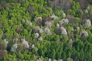 Aerial view of forest with white flowering wild Cherry Trees (Prunus) in spring. Elm, Lower Saxony, Germany, Europe, April 2012.  -  Kerstin Hinze