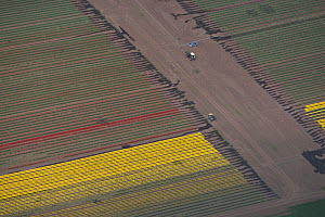 Aerial view of tulip fields flowering red and yellow. Saxony-Anhalt, Germany, April 2012.  -  Kerstin Hinze