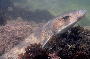 Close up of Lesser spotted catshark / Dogfish (Scyliorhinus canicula) resting on floor of a rockpool among Irish moss / Carrageen (Chondrus crispus) and Coralweed (Corallina officinalis). Rhossili, Th...  -  Nick Upton