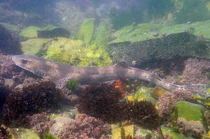 Lesser spotted catshark / Dogfish (Scyliorhinus canicula) resting on floor of a rockpool among Coralweed (Corallina officinalis) and Irish moss / Carrageen (Chondrus crispus). Rhossili, The Gower peni...  -  Nick Upton
