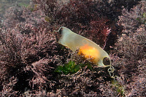 Yolk and developing embryo visible in Mermaid's purse egg case of Lesser spotted catshark / Dogfish (Scyliorhinus canicula) entangled with Coralweed (Corallina officinalis) in a rockpool. Rhossili, Th... - Nick Upton