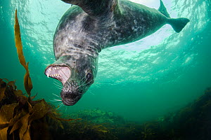 Grey seal (Halichoerus grypus) swimming amongst kelp and playing, Farne Islands, Northumberland, England, UK, July.  -  Alex Mustard / 2020VISION