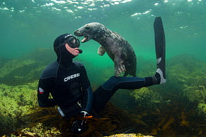 Young Grey seal (Halichoerus grypus) playing with snorkeller, Farne Islands, Northumberland, England, UK, July. Model released.  -  Alex Mustard / 2020VISION