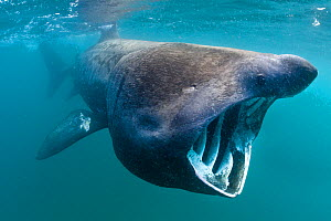 Basking shark (Cetorhinus maximus) feeding in open water, Cornwall, England, UK, June - Alex Mustard / 2020VISION