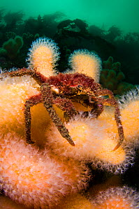 Great spider crab (Hyas araneus) on Deadman's fingers (Alcyonium digitatum) coral, feeding in a current, Loch Carron, Ross and Cromarty, Scotland, UK, April - Alex Mustard / 2020VISION