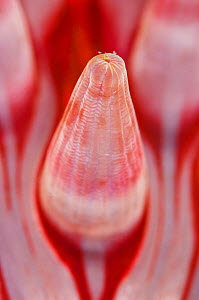Detail of the tentacle of a Dahlia anemone (Urticina felina), Loch Carron, Ross and Cromarty, Scotland, UK, April  -  Alex Mustard / 2020VISION
