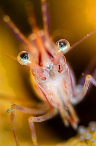 Pink shrimp (Pandalus montagui), Loch Carron, Ross and Cromarty, Scotland, UK, April - Alex Mustard / 2020VISION
