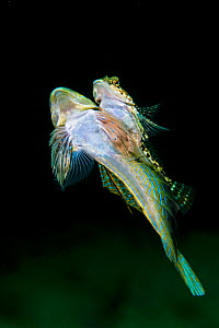Pair of Dragonets (Callionymus lyra) spawning. The larger male is carrying the female up into the water column, balanced on his pectoral fin, the males breed only once in their life time, Loch Carron,...  -  Alex Mustard / 2020VISION