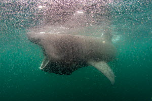 Basking shark (Cetorhinus maximus) feeding at the surface in a thick soup of copepod zooplankton (Calanus finmarchicus), Cairns of Coll, Inner Hebrides, Scotland, UK, June - Alex Mustard / 2020VISION