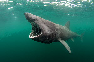 Basking shark (Cetorhinus maximus) feeding at the surface on plankton, Cairns of Coll, Inner Hebrides, Scotland, UK, June - Alex Mustard / 2020VISION