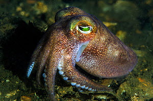 Stout bobtail squid (Rossia macrosoma) on the seabed, Loch Creran, Scotland, UK, June. - Alex Mustard / 2020VISION