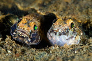 Pair of Painted gobies (Pomatoschistus pictus) mating and laying eggs in a burrow, the darker coloured fish is the male, Loch Creran, Oban, Scotland, UK, June - Alex Mustard / 2020VISION