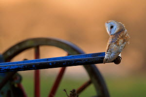 Barn Owl (Tyto alba) perched on old plough. Wales, December. Did you know? Baby barn owls can recognise their sibling�s calls. - Andy Rouse / 2020VISION