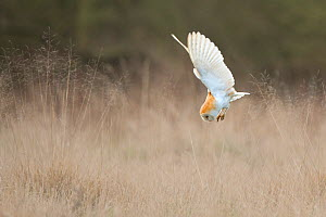 Barn Owl (Tyto alba) diving towards prey. Wales, UK, March. Sequence 1 of 2. - Andy Rouse / 2020VISION