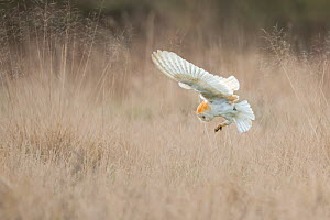 Barn Owl (Tyto alba) diving towards prey. Wales, UK, March. Sequence 2 of 2. - Andy Rouse / 2020VISION