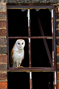 Barn Owl (Tyto alba) portrait perched in old window frame. Wales, UK, March. - Andy Rouse / 2020VISION
