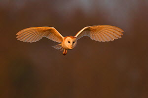Barn Owl (Tyto alba) in flight in morning light. Wales, UK, March. - Andy Rouse / 2020VISION