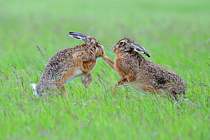 European Hares (Lepus europaeus) boxing, female on right. Wales, UK, June. Sequence 1 of 2.  -  Andy Rouse / 2020VISION