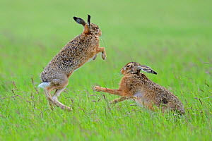 European Hares (Lepus europaeus) boxing, female on right. Wales, UK, June. Sequence 2 of 2. Did you know? A group of hares is known as a drove. - Andy Rouse / 2020VISION