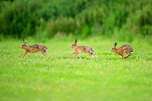 Three European Hare (Lepus europaeus) chasing, a courtship behaviour. Wales, UK, June.  -  Andy Rouse / 2020VISION