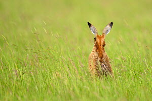 European Hare (Lepus europaeus) rear view sitting in long grass. Wales, UK, June.  -  Andy Rouse / 2020VISION