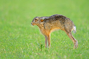 European Hare (Lepus europaeus) stretching. Wales, UK, February.  -  Andy Rouse / 2020VISION
