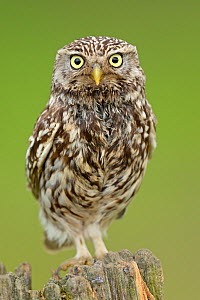 Little Owl (Athene noctua) portrait on post. Wales, UK, June. - Andy Rouse / 2020VISION