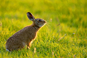 European Hare (Lepus europaeus) leveret in field. UK, Wales, June. Did you know? Unlike baby rabbits, hare leverets are born with eyes open and with fur. - Andy Rouse / 2020VISION